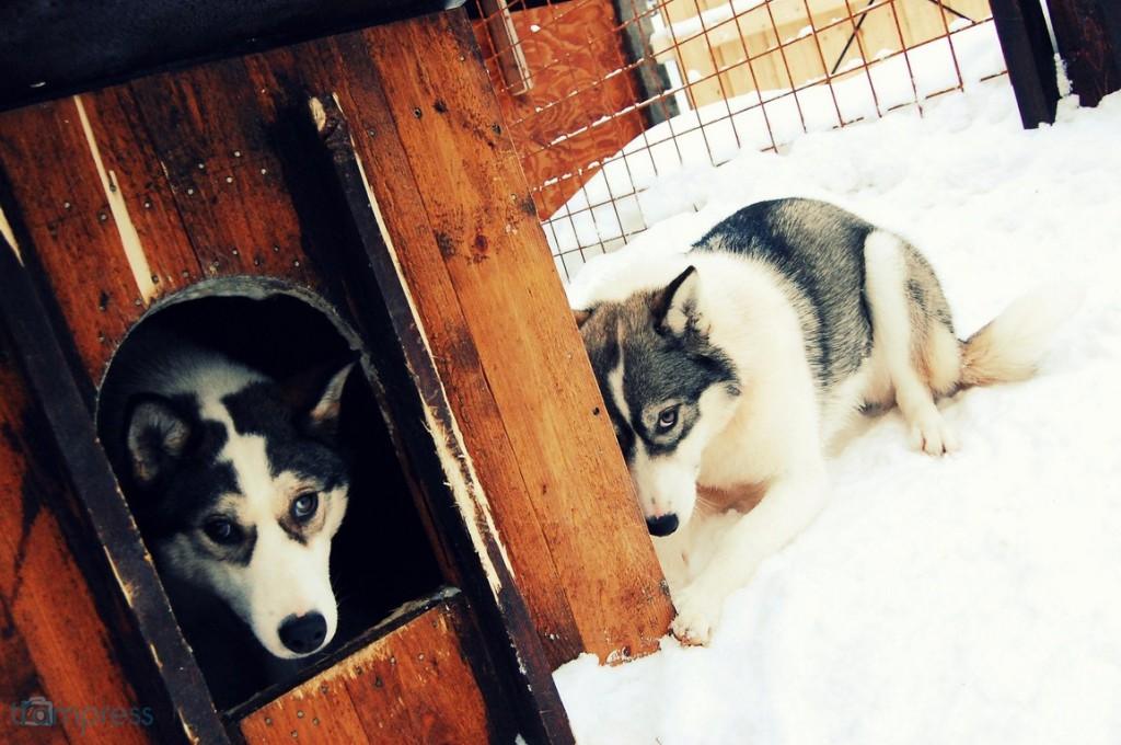 """[Rovaniemi, 02.2014] """"Te, młody, widzisz, co właśnie weszło do naszej klatki?"""""""