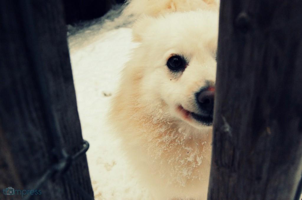 """[Rovaniemi, 02.2014] """"Uśmiechaj się"""", wyprostowała się Vivi. Pies wielkości piłki do gry w nożną, który służy jako stróż całego Husky Parku - jako jedyny pies potrafi wydać jakikolwiek głos, gdy ktoś obcy po godzinach zamknięcia wejdzie na jego teren."""